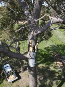 artificial nest box for black cockatoo high in tree with ute at base of tree