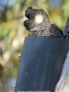 Carnaby's cockatoo in Landcare SJ cockatube nest box