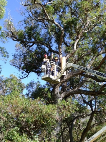 two men installing Landcare SJ COCKATUBE ® in tree