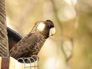 Carnaby's Cockatoo. Photo courtesy of Rick Dawson